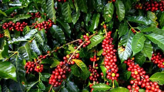 Introducing courses in universities dealing with coffee farming will be very beneficial