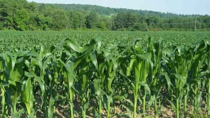 Maize performance in the region improved this year according to research by Tegemeo Institute
