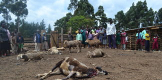 Residents of Chepsui village viewing the killed sheep