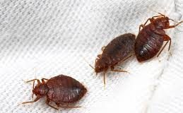 A bed bug can easily maneuver in tight spaces and in cracks and crevices