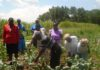 Zacharia Mwaniki an Agriculture Officer inspecting a vegetable farm with Pole Pole members