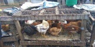 Many businesses are flourishing in Kanduyi market, including the chicken business