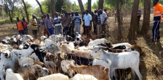 Cattle rustling has been a main problem along West Pokot and Turkana Counties. FILE PHOTO