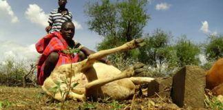 One of the sheep killed in West Pokot after an alleged wild animal attack