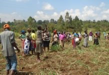 Lugari Township parents uprooting crops on the disputed land