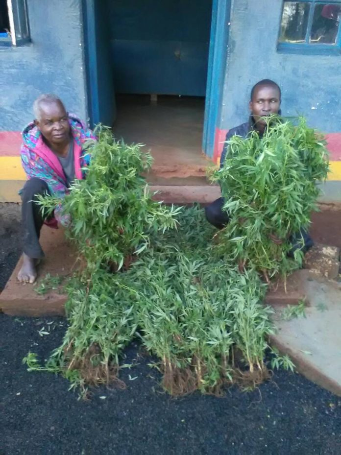 The two suspects with some of the uprooted marijuana from their farm