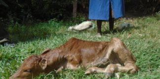 The Lugari residents were shocked after seeing the deformed calf