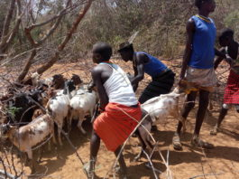 West Pokot County government has launched a free livestock vaccination program