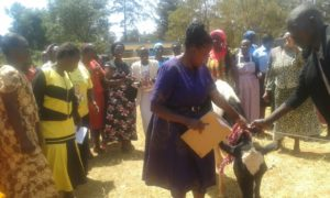 A heifer donated by Lugari MP Ayub Savula to REALLOW women in Likuyani