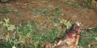 Part of the carcasses which were found hidden in a latrine in Matete