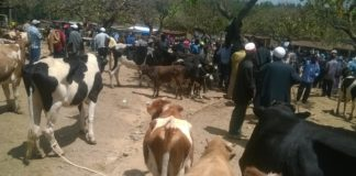 Livestock traders with their animals at Kipkaren market after the quarantine was lifted