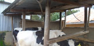 Some of the dairy cows reared on Matende Holstein farm