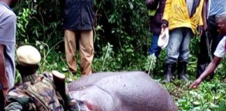 KWS rangers killed the stray hippo at Chemarmar