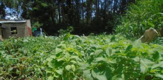 West Pokot residents have been urged to plant short term crops including vegetables