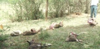 Sheep carcasses after they were killed by an unknown wild animal