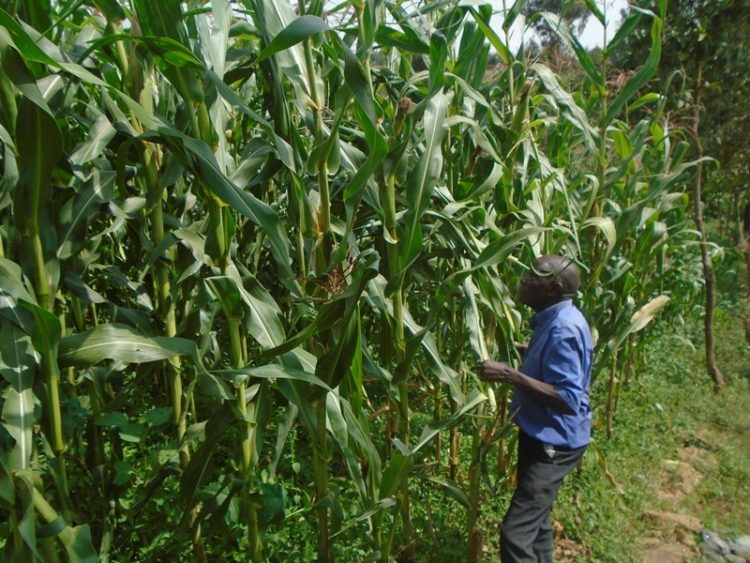 Mzee Joseph Mmbulika on his farm where monkeys have destroyed maize