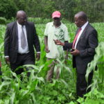 Agriculture CEC Mathews Makanda and County Agriculture director Onesmus Makhanu inspecting affected maize