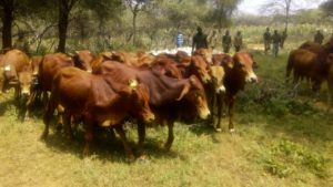 Distribution of Sahiwal cattle in Kasei