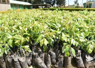 15,000 avocado seedlings were issued by the Nandi government to farmers