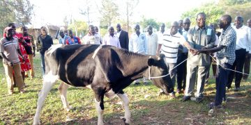 Busia County Deputy Governor Moses Mulomi and Gerdy Jakaa hand over one of the cows to a group