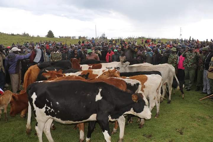 The stolen cattle that was returned to the Marakwets