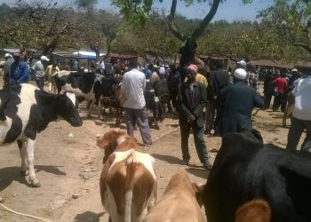 Some of the livestock traders with their animals at Kipkaren market before the quarantine was imposed