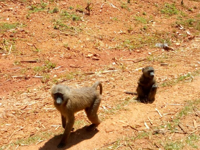 Some of the monkeys causing disturbances to residents of Lumama and Baharini villages in Lugari