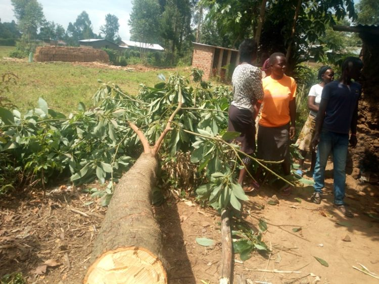 The avocado tree which was cut by residents in an attempt to nab the culprit