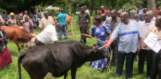 Busia County Governor Sospter Ojaamong hands over one of the dairy cows to a Teso group