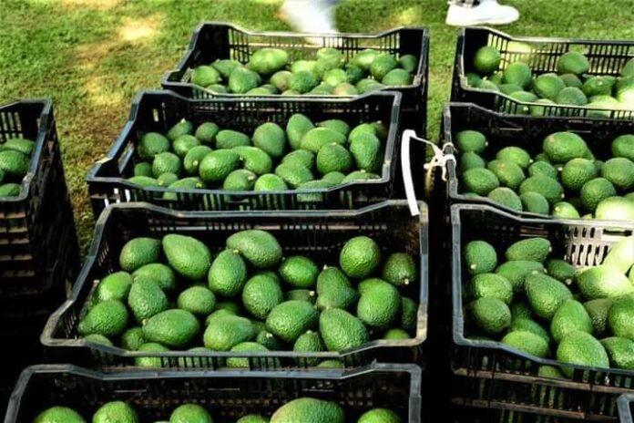 Hass avocado farming in Nandi