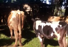 Cows that had been stolen