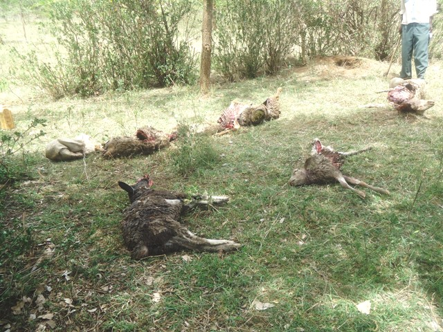 Some of the carcasses